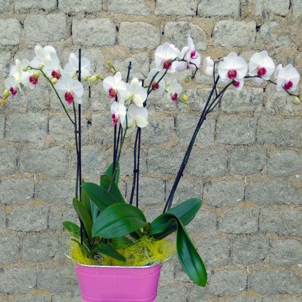 Orquideas phalaenopsis para regalar - Como cuidar orquideas en maceta ...