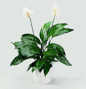 Las plantas de interior son mas bonitas con flores for Plantas de interior precios