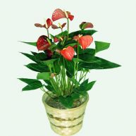 Anthurium decorado para regalo