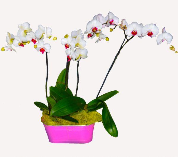 Orquideas phalaenopsis para regalar - Maceta para orquideas ...